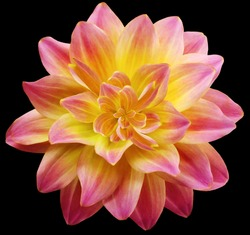 dahlia flower yellow-red.  Flower isolated on the black background. Close-up. Nature.