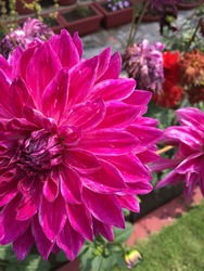 Dahlia flowers come in varying shades of white, yellow, orange, red, pink and purple. They vary in sizes and few species grow big to resemble with sunflowers