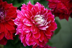 Dahlia flowers in shades of red