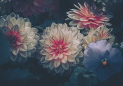 Dahlia flowers; Nature Background ; vintage style
