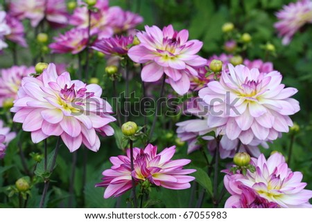 Dahlia in pink color