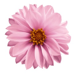 Dahlia  light pink flower  on a white isolated background with clipping path.  Closeup no shadows. Garden  flower. Nature.