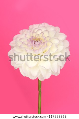dahlia on color background