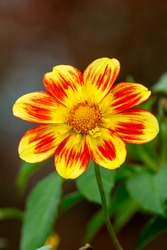 Dahlia 'Pooh Swan Island' an orange yellow flower summer flower tuber plant stock photo image