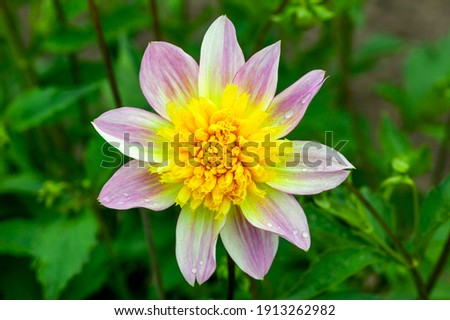 Dahlia 'Ryecroft Marge' a purple yellow summer autumn double flower tuber plant, stock photo image Photo stock ©
