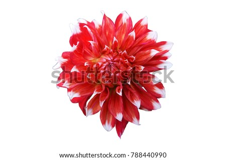 Dahlia scarlet flower with white tips isolated on white ez canvas dahlia scarlet flower with white tips isolated on white mightylinksfo
