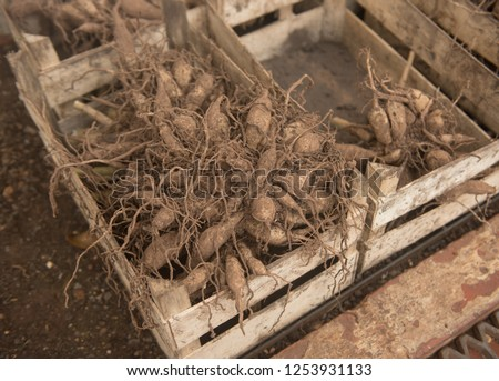 Dahlia Tubers Overwintering in a Wooden Crate in a Greenhouse in Rural Somerset, England, UK Foto stock ©