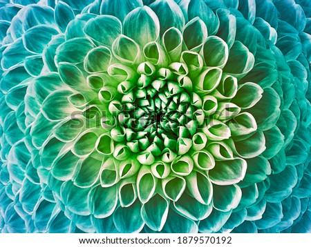 Dahlia turquoise-green flower.  Macro.  Nature. Stockfoto ©