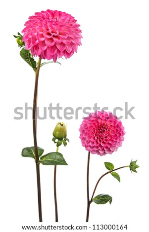 Dahlia. Two flowers isolated on white