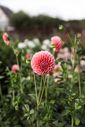 Dahlias among the beds of a flower farm. Large fragrant flower buds. Gardening and nature.