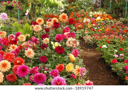 Dahlias in nursery garden, 		Xochimilco canals, floating gardens, 	Mexico City - stock photo