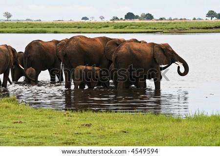 Daily bath, herd of elephants washing and drinking water, Okavango Delta. Loxodonta africana ,Elephas maximus