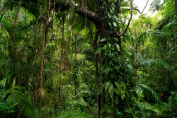 Daintree Rainforest, canopy. Queensland. Australia.