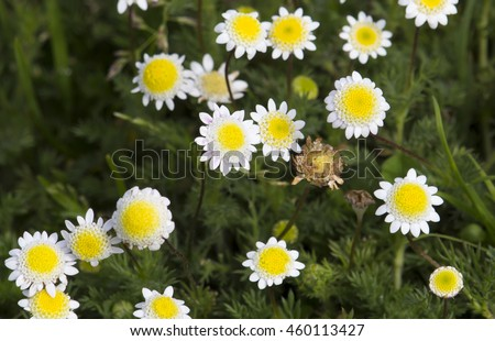 Free photos tiny cotula turbinata funnel weed flowers in winter dainty tiny cotula turbinata funnel weed flowers in winter spring with feathery divided mightylinksfo
