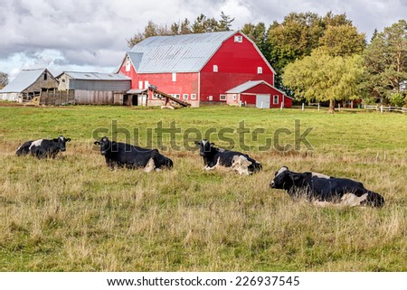 Dairy cattle and a red barn on a farm.