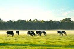 dairy cattle in foggy morning on Australian farm