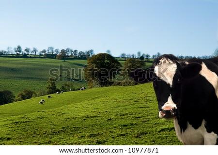 Dairy cow against a farm landscape