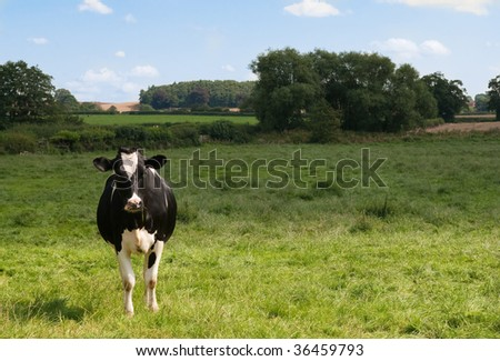 Dairy cow facing forward in lush green meadow with farmland in background
