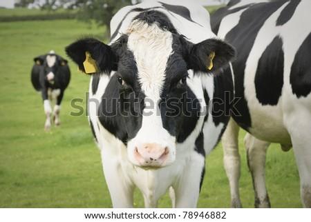 Dairy cow in pasture, Waltshire, England
