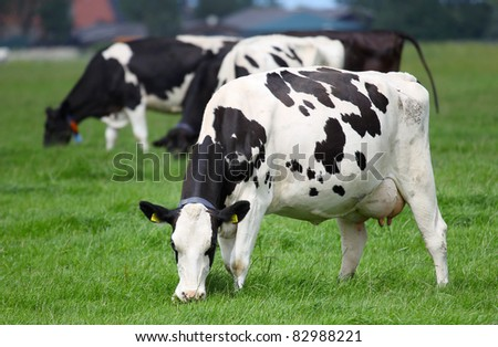 dairy cows grazing on a pasture in Friesland(Holland)