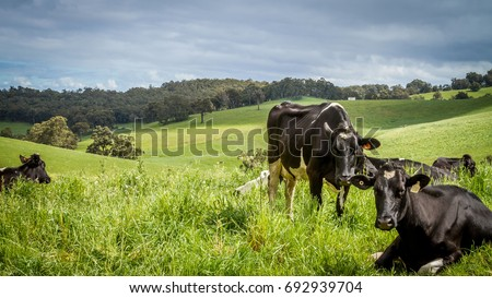 Dairy Cows in Lush Green Hilly Paddock