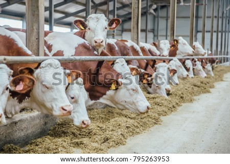 Dairy cows of Monbeliard breeding in free livestock stall  #795263953