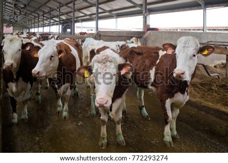 dairy cows of monbeliard...
