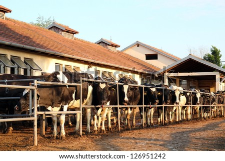 Dairy Farm and Milking Cows. Cows waiting to be milked in milking shed on farm.