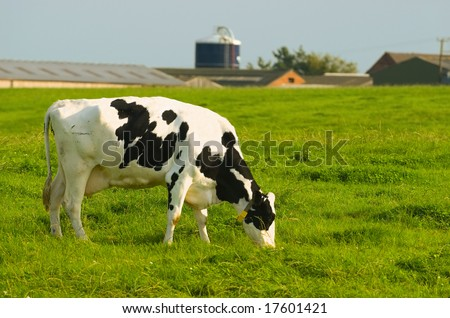 Dairy Friesian cow grazing with farm backdrop