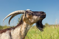 Dairy Goat with big Horns on Green Meadow