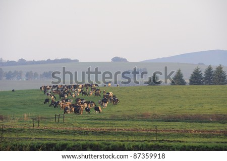 dairy herd in a setting sun, underberg,south africa