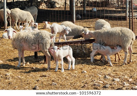 Dairy sheep farm in the Negev desert, Israel.