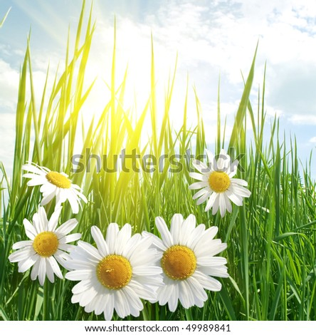 daisies and fresh green grass