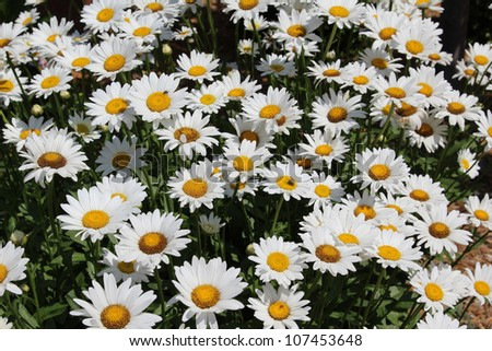 Daisies Bloom From Spring Till Fall Making Them A