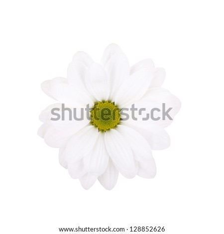 Daisies flower head isolated on white background