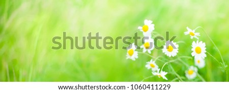 Daisies flowers field wide angle background in Summer Day with selective focus. Beautiful nature scenes with blooming medical chamomilles flowers. Wallpaper or Web Banner With Copy Space