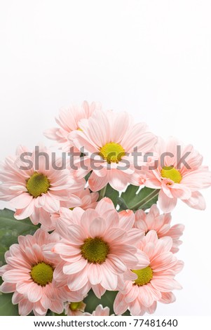 Daisies flowers on white background