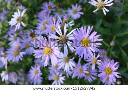 Daisies, flowers that represent innocent innocence, show kindness to each other Is an honest, loyal, loyal, clean, white love agent Daisy is native to Europe. And Asia Minor #1512629942