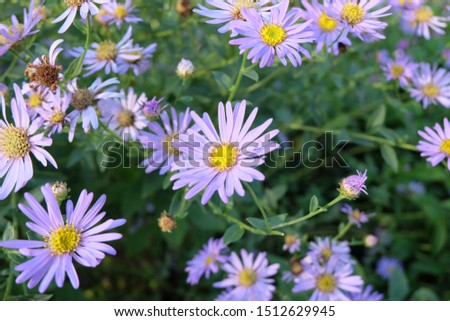 Daisies, flowers that represent innocent innocence, show kindness to each other Is an honest, loyal, loyal, clean, white love agent Daisy is native to Europe. And Asia Minor #1512629945