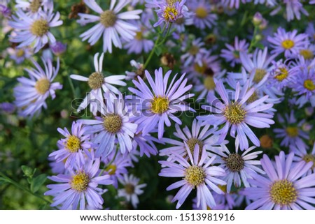 Daisies, flowers that represent innocent innocence, show kindness to each other Is an honest, loyal, loyal, clean, white love agent Daisy is native to Europe. And Asia Minor #1513981916