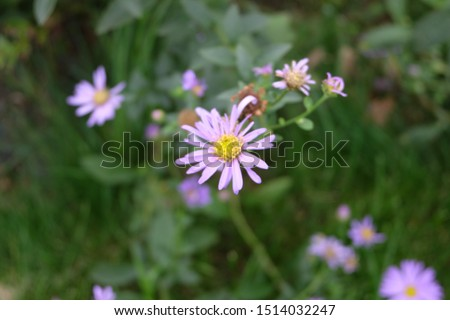 Daisies, flowers that represent innocent innocence, show kindness to each other Is an honest, loyal, loyal, clean, white love agent Daisy is native to Europe. And Asia Minor #1514032247