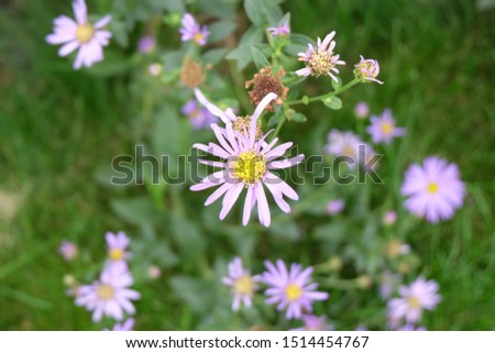 Daisies, flowers that represent innocent innocence, show kindness to each other Is an honest, loyal, loyal, clean, white love agent Daisy is native to Europe. And Asia Minor #1514454767