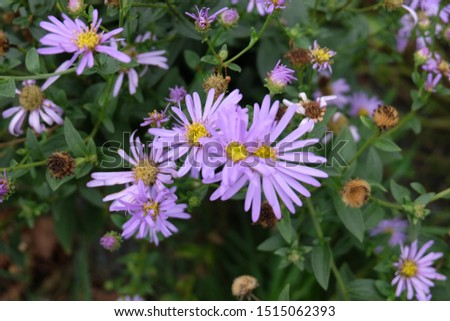 Daisies, flowers that represent innocent innocence, show kindness to each other Is an honest, loyal, loyal, clean, white love agent Daisy is native to Europe. And Asia Minor #1515062393