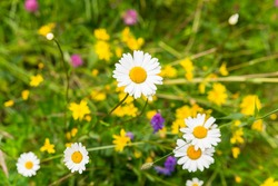 daisies in a field of flowers in northern Sweden