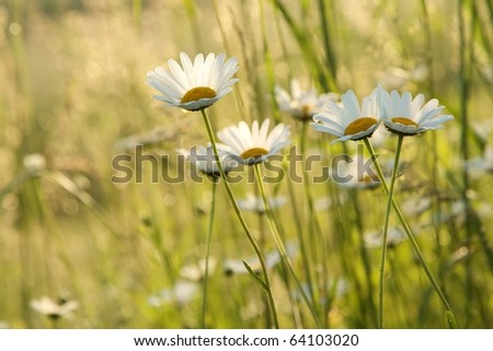 Daisies in a meadow backlit by the morning sun.