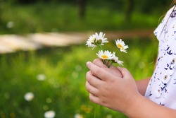 Daisies in hands of a child. Sunny spring background. Close up. Harmony concept