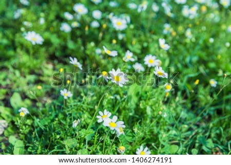 Daisies in the mountains in summer #1406274191