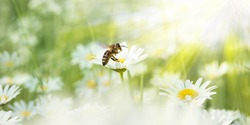 Daisies in the sunlight with a bee on a blooming flower
