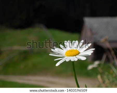 Daisies, little darlings, thousand beautiful, Bellis perennis, free, sharp in the foreground, in the background an alpine hut and an alpine meadow can be seen #1403196509