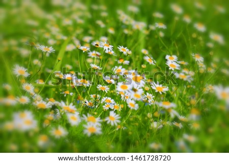 Daisies on the meadow, Bavaria, Germany #1461728720